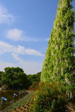 This is a giant wall of wisteria. We missed full bloom so it wasn't quite as impressive as it could've been.