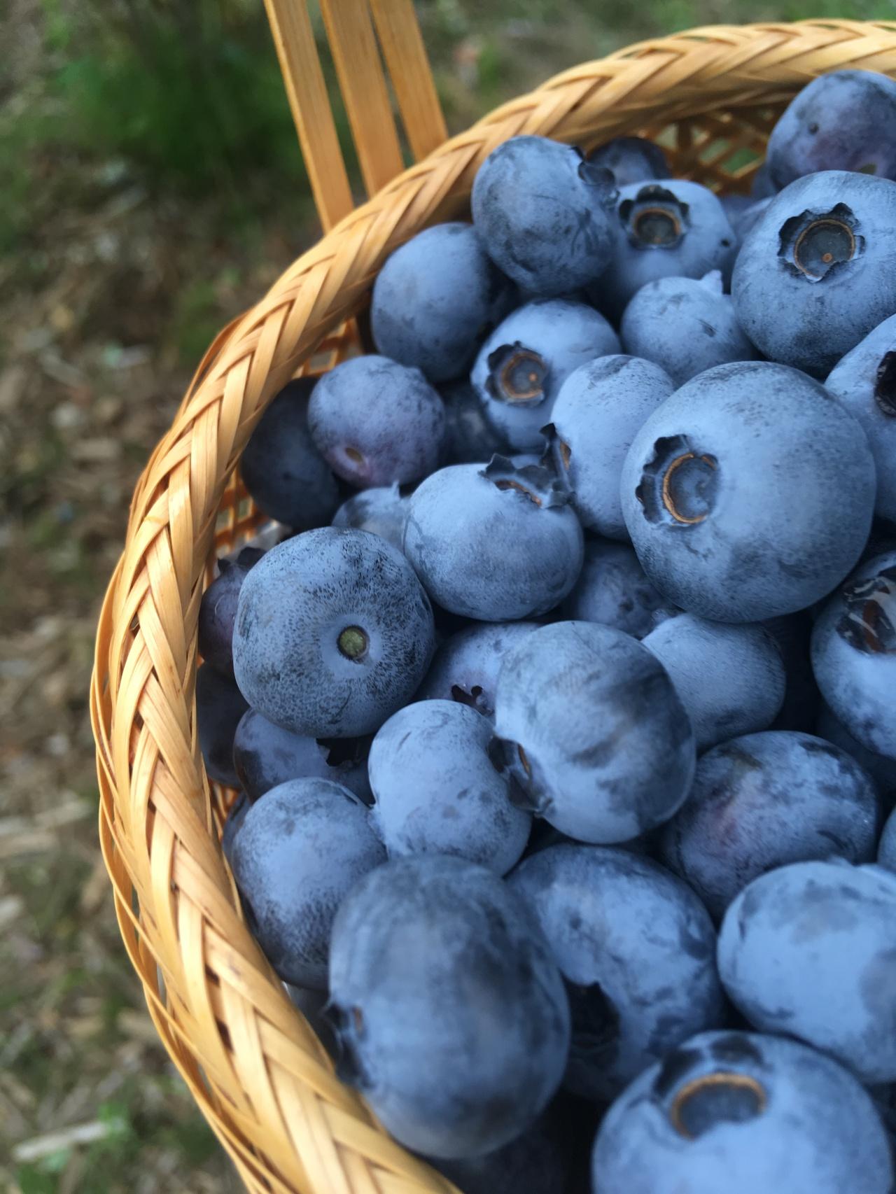 Blueberry Picking —ブルーベリー狩り